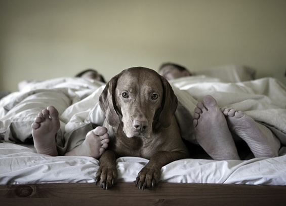 Dog lying between sleeping couple in bed, looking at camera